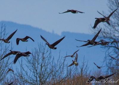 Sauvie Island Geese