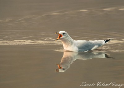 Talkative Seagull-0212