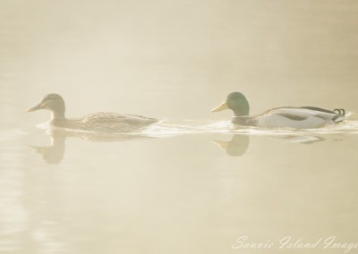 Ducks in the fog