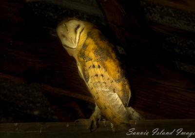 Barn Owl-6007