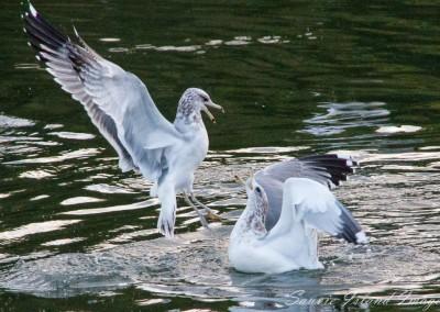 bickering_seagulls