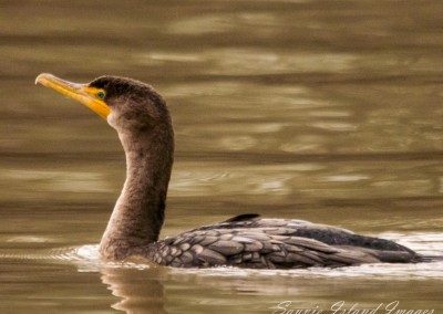 Cormorant in Winter-0098