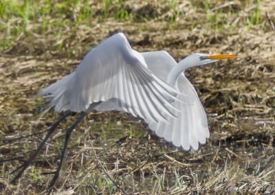 Great Egret Takes Off-3449