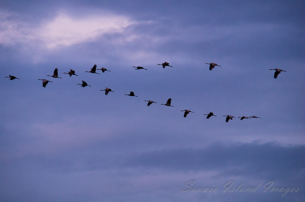 geese_in_winter
