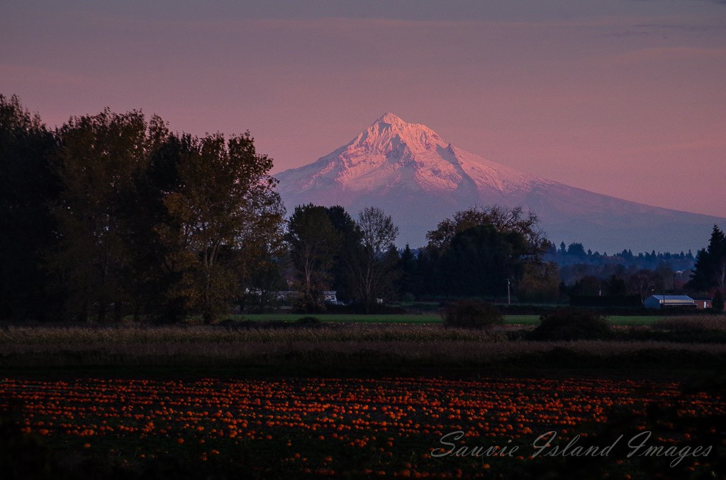 Mt Hood Sauvie pumpkin field