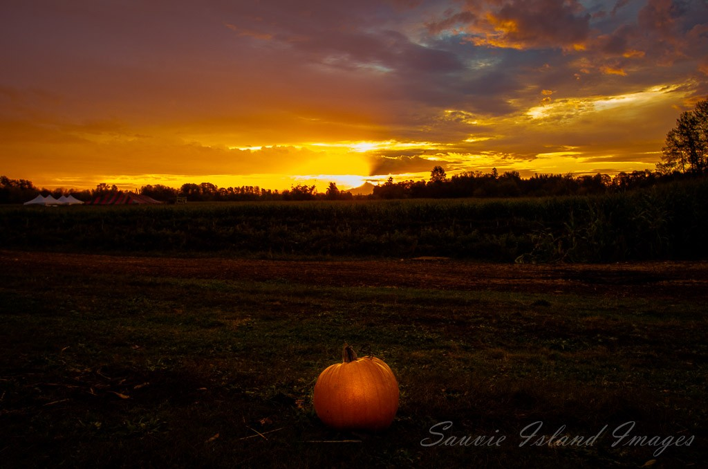pumpkin in sauvie island field