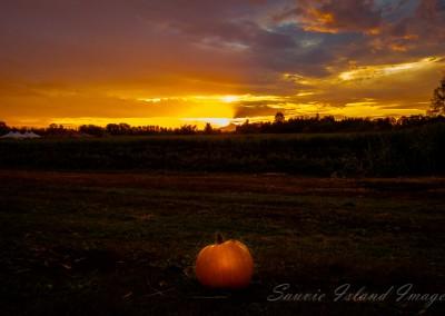 pumpkin in sauvie island field