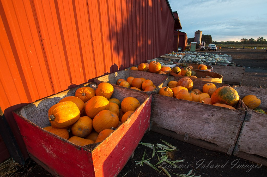 Sauvie Island Pumpkins