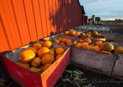 Sauvie Island Pumpkins