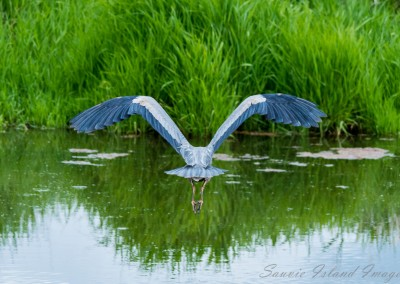 Heron taking flight-3529