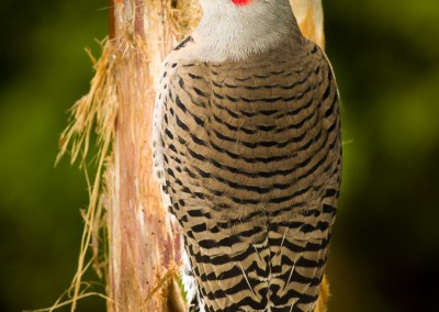 Northern Flicker-2117