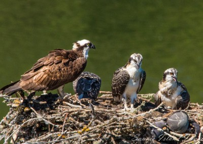Osprey Chicks with Mama-8150
