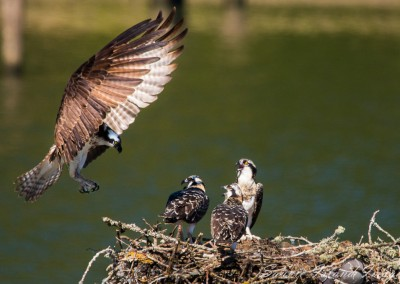 Osprey flies to Chicks-8028