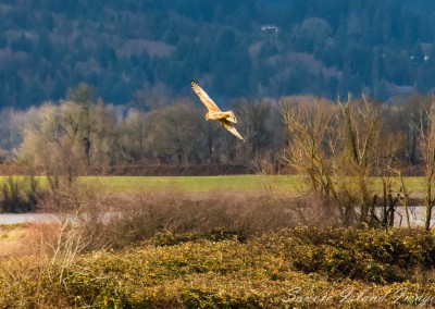 Northern Harrier-0477