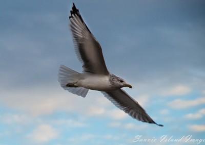 Soaring Gull-9209