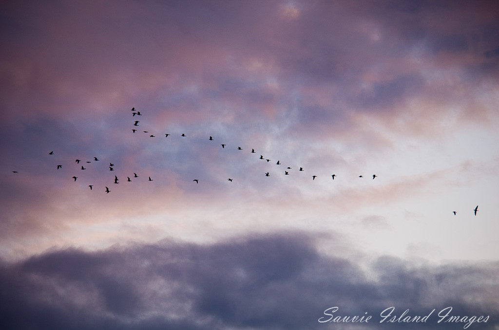 A Skein of Geese in a Winter Sky-9804