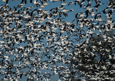 Flushed Snow Geese-6432