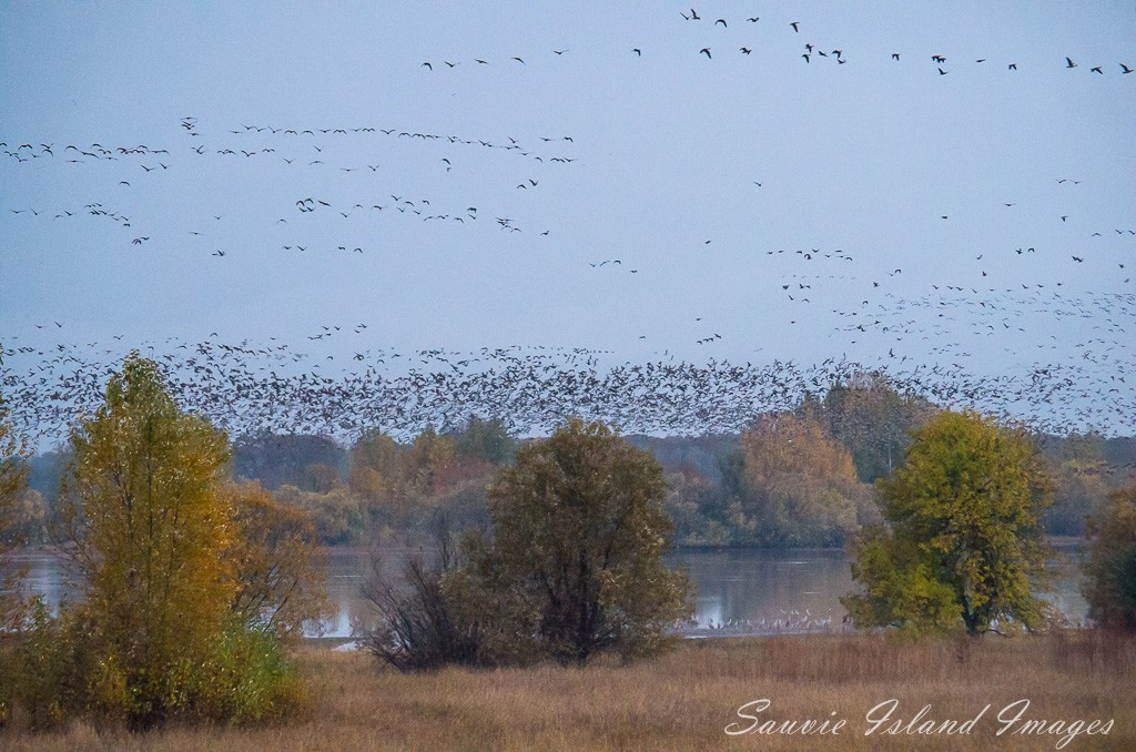 Geese Over Sturgeon Lake-9638