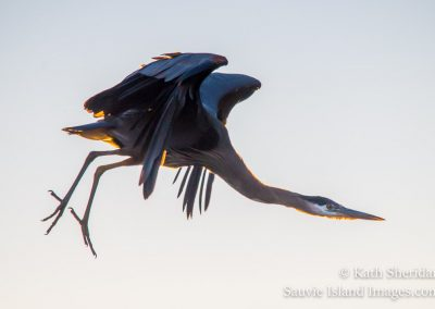 blue heron overhead