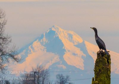 Cormorant and Mt Hood-2725