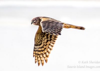 Northern Harrier Hunting-4796