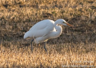 Sauvie_Island_Egret