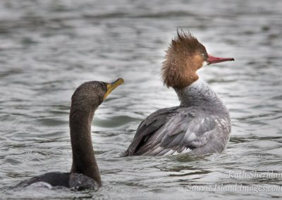 Common Merganser and Cormorant-2538