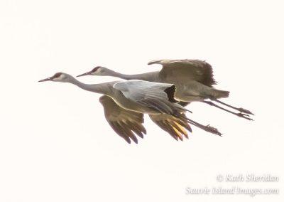 Sandhill Crane Pair-4472