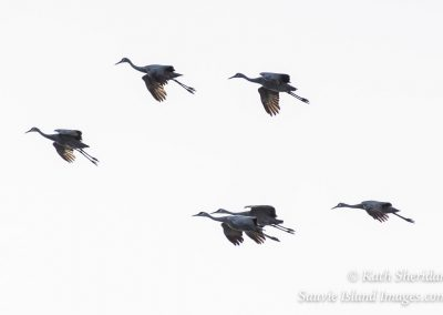 Sandhill Cranes Floating-4472