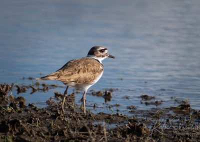 soulful killdeer